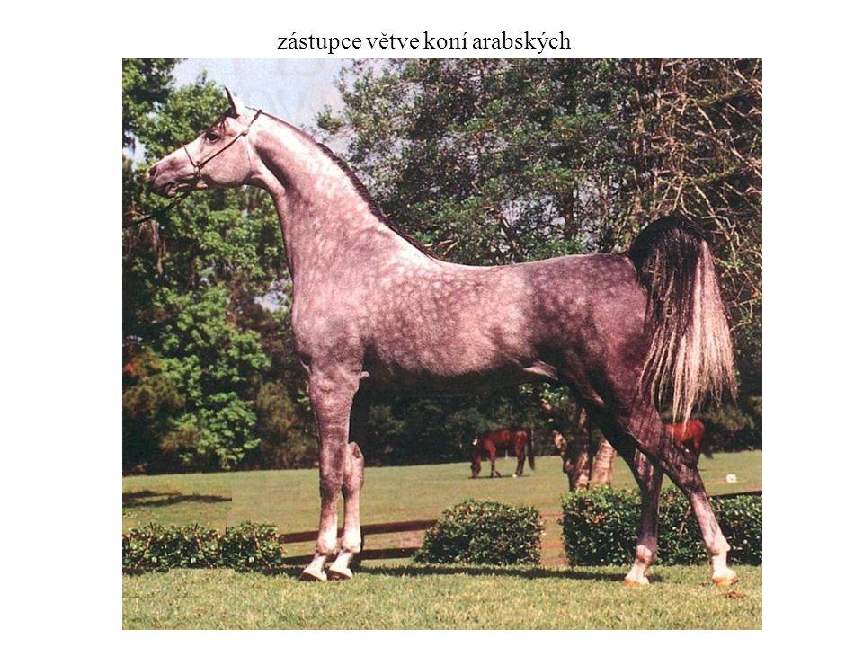 zástupce větve koní arabských