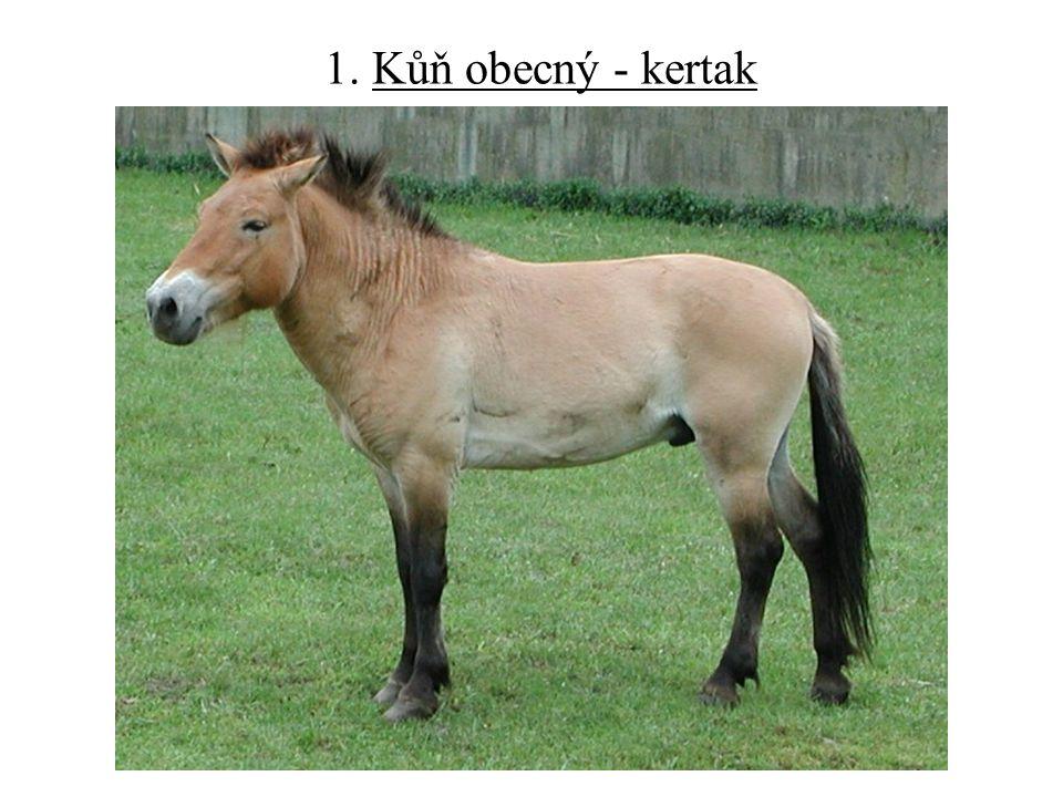 1. Kůň obecný - kertak
