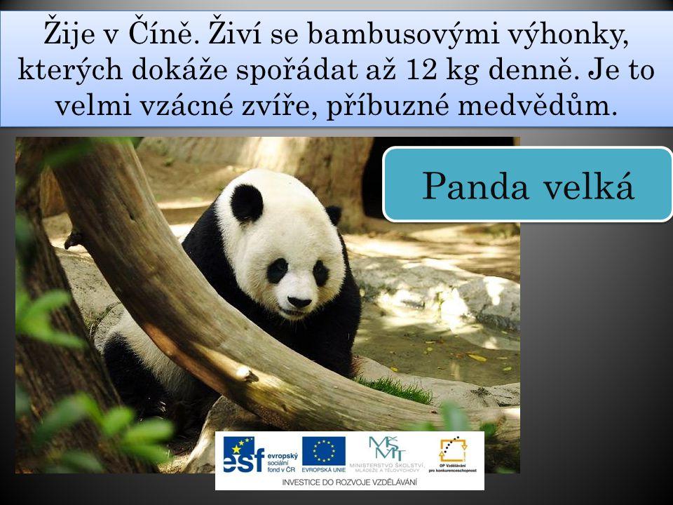Žije v Číně. Živí se bambusovými výhonky, kterých dokáže spořádat až 12 kg denně. Je to velmi vzácné zvíře, příbuzné medvědům.