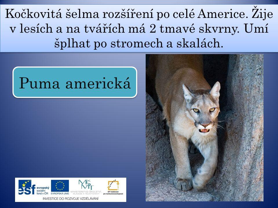 Kočkovitá šelma rozšíření po celé Americe