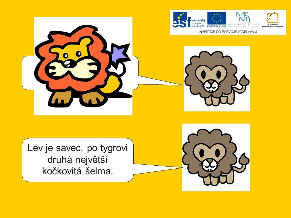 Lev je savec, největší kočkovitá šelma.