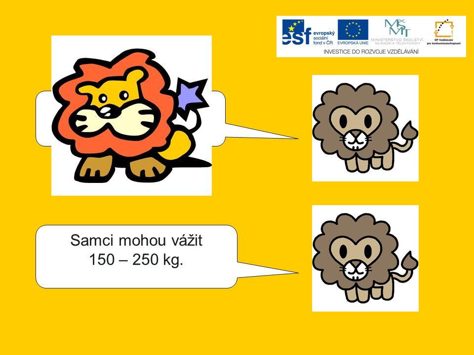 Samci mohou vážit 200 – 300 kg. Samci mohou vážit 150 – 250 kg.