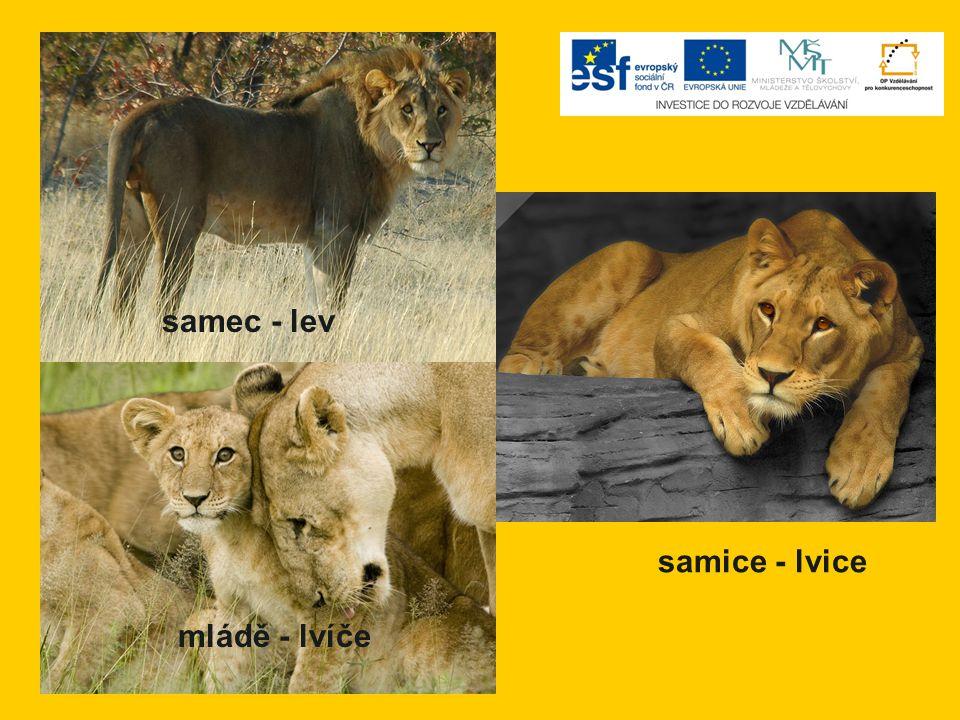 samec - lev samice - lvice mládě - lvíče