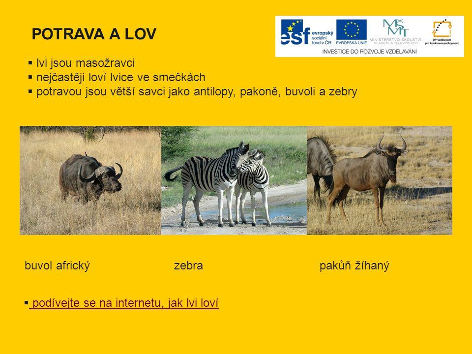 POTRAVA A LOV lvi jsou masožravci nejčastěji loví lvice ve smečkách