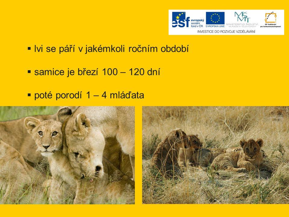 lvi se páří v jakémkoli ročním období