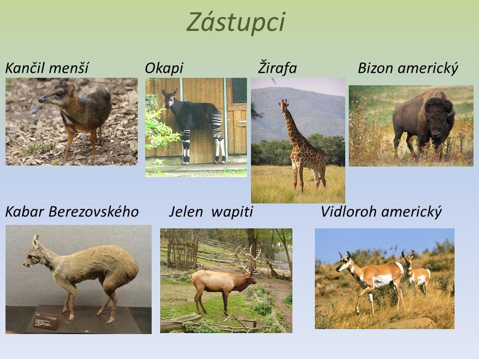 Zástupci Kančil menší Okapi Žirafa Bizon americký Kabar Berezovského Jelen wapiti Vidloroh americký