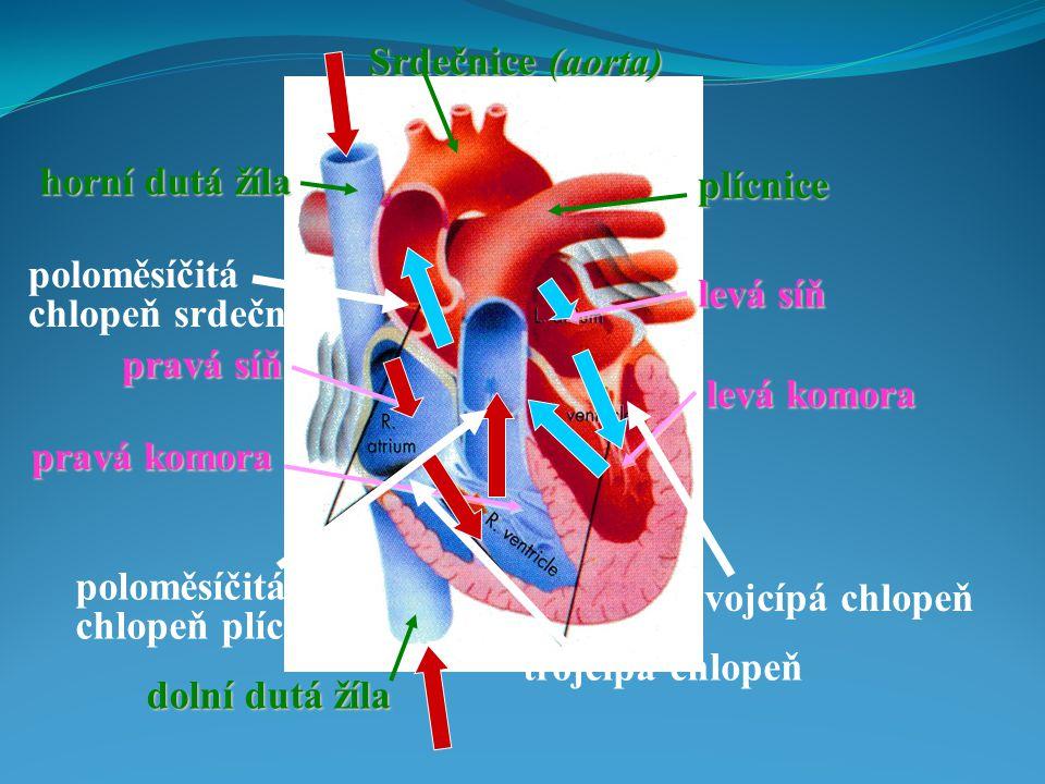 Srdečnice (aorta) horní dutá žíla. plícnice. poloměsíčitá chlopeň srdečnice. levá síň. pravá síň.