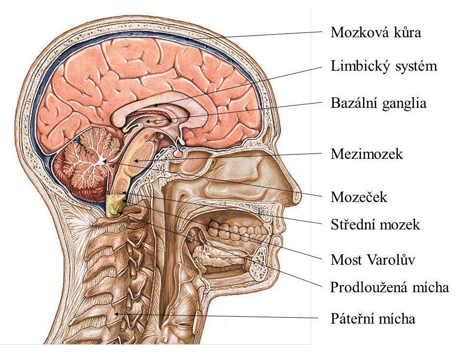 Mozková kůra Limbický systém. Bazální ganglia. Mezimozek. Mozeček. Střední mozek. Most Varolův.