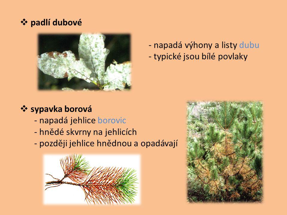 padlí dubové - napadá výhony a listy dubu. - typické jsou bílé povlaky. sypavka borová. - napadá jehlice borovic.