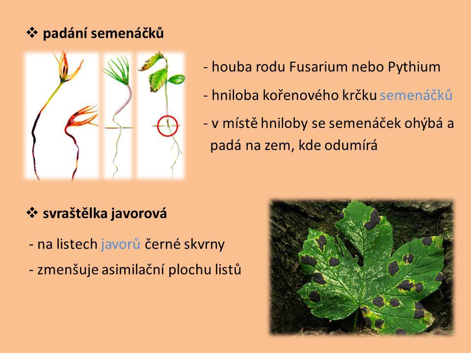padání semenáčků - houba rodu Fusarium nebo Pythium. - hniloba kořenového krčku semenáčků. - v místě hniloby se semenáček ohýbá a.