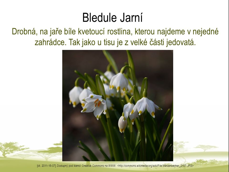 Bledule Jarní Drobná, na jaře bíle kvetoucí rostlina, kterou najdeme v nejedné zahrádce. Tak jako u tisu je z velké části jedovatá.