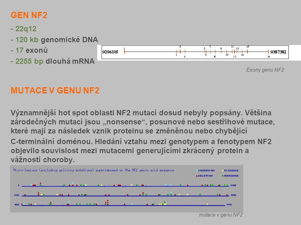 GEN NF2 MUTACE V GENU NF2 - 22q12 - 120 kb genomické DNA - 17 exonů