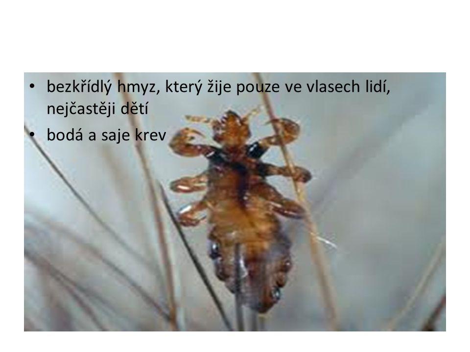bezkřídlý hmyz, který žije pouze ve vlasech lidí, nejčastěji dětí