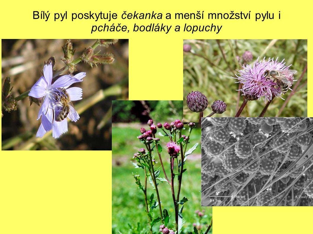 Bílý pyl poskytuje čekanka a menší množství pylu i pcháče, bodláky a lopuchy