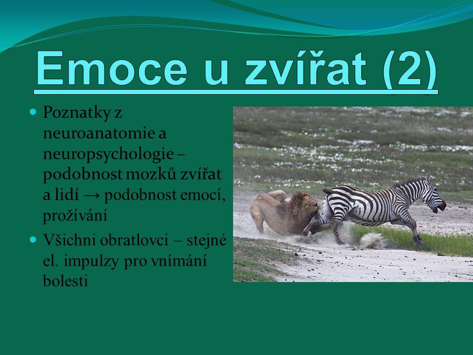 Emoce u zvířat (2) Poznatky z neuroanatomie a neuropsychologie – podobnost mozků zvířat a lidí → podobnost emocí, prožívání.