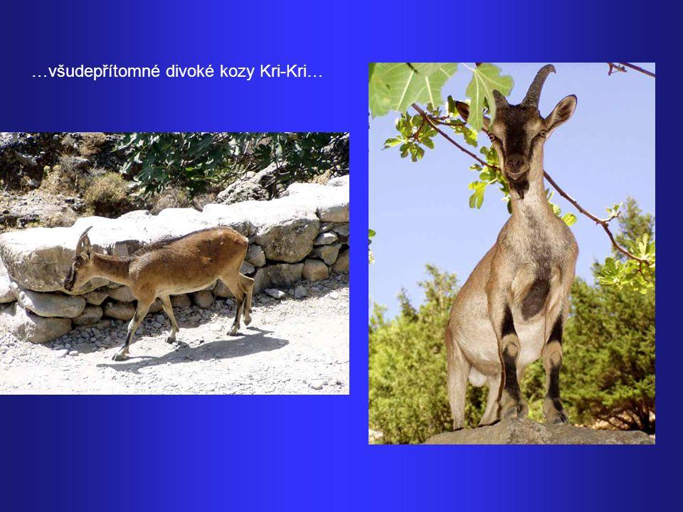 …všudepřítomné divoké kozy Kri-Kri…