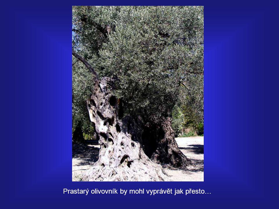 Prastarý olivovník by mohl vyprávět jak přesto…
