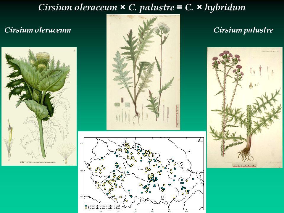 Cirsium oleraceum × C. palustre = C. × hybridum