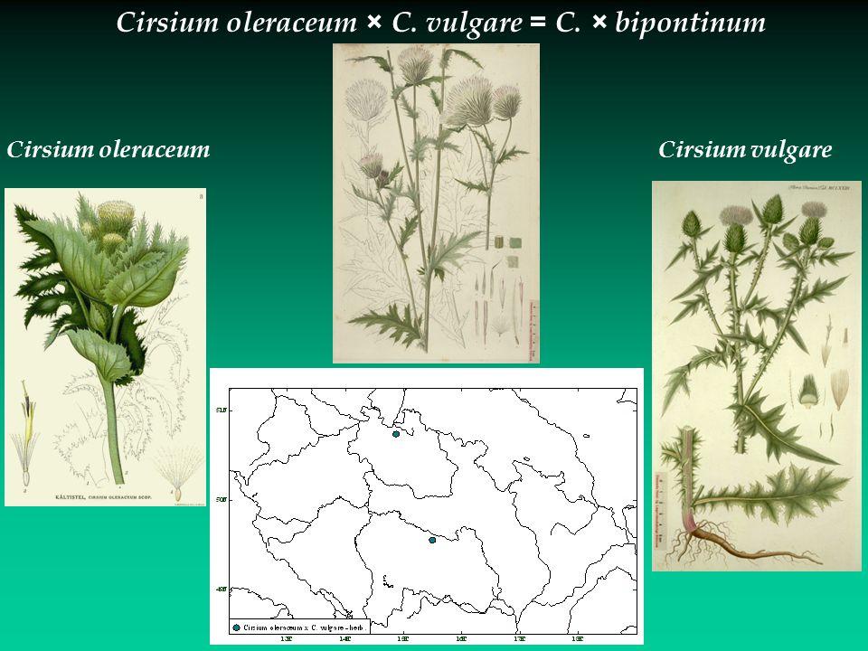 Cirsium oleraceum × C. vulgare = C. × bipontinum