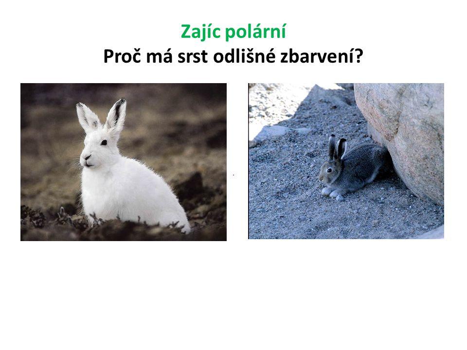 Zajíc polární Proč má srst odlišné zbarvení