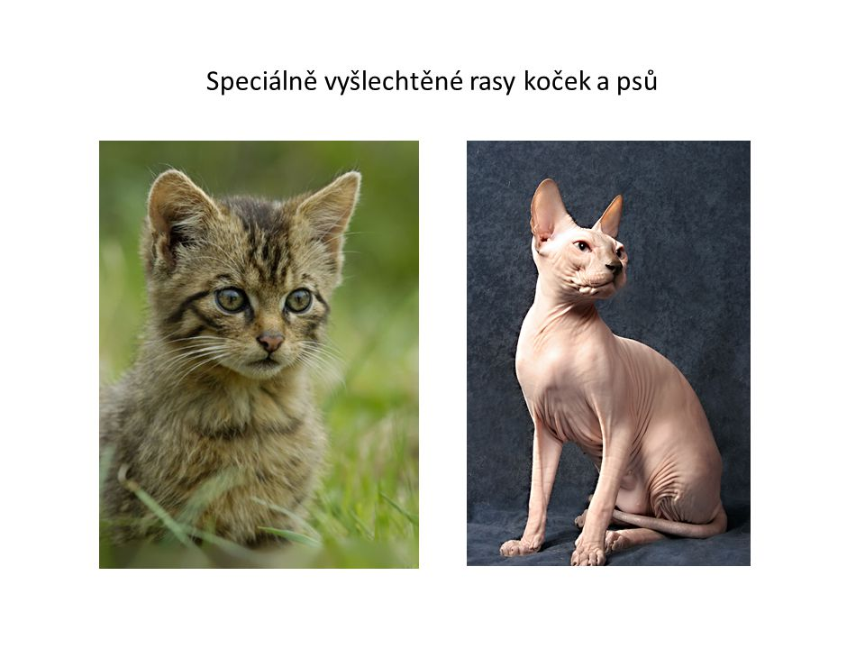 Speciálně vyšlechtěné rasy koček a psů