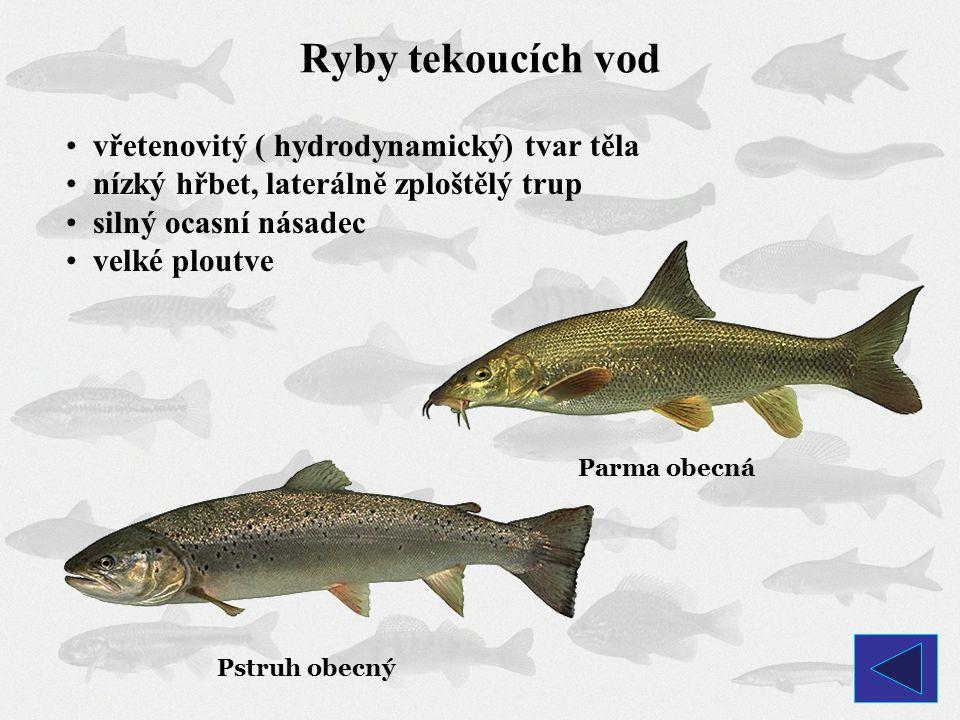 Ryby tekoucích vod vřetenovitý ( hydrodynamický) tvar těla