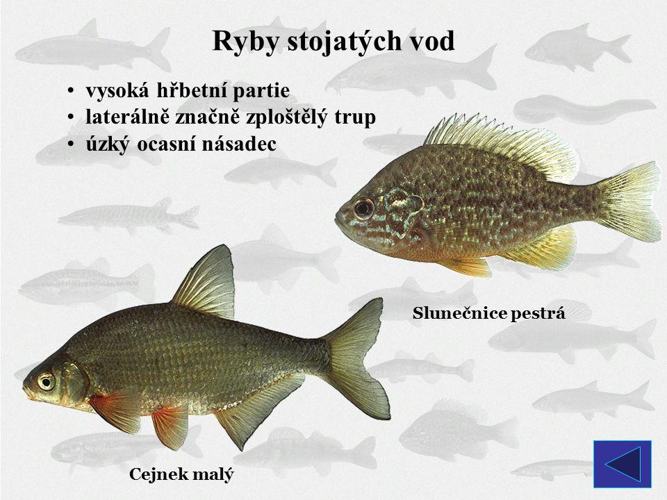 Ryby stojatých vod vysoká hřbetní partie