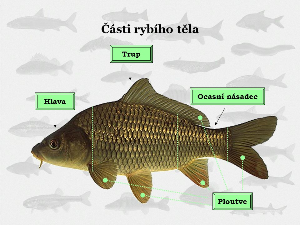 Části rybího těla Trup Ocasní násadec Hlava Ploutve
