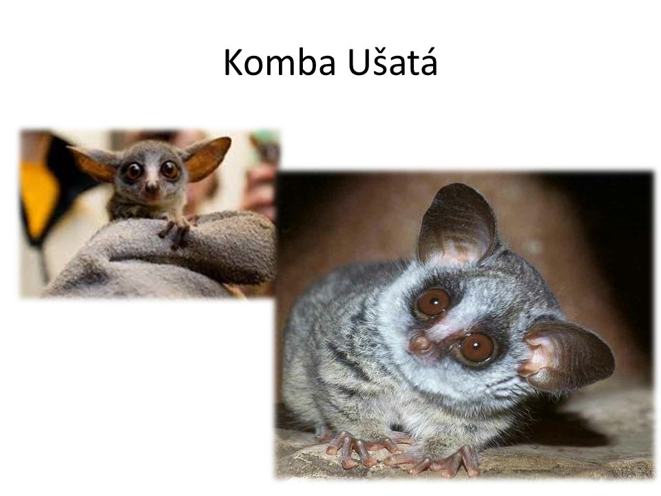 Komba Ušatá
