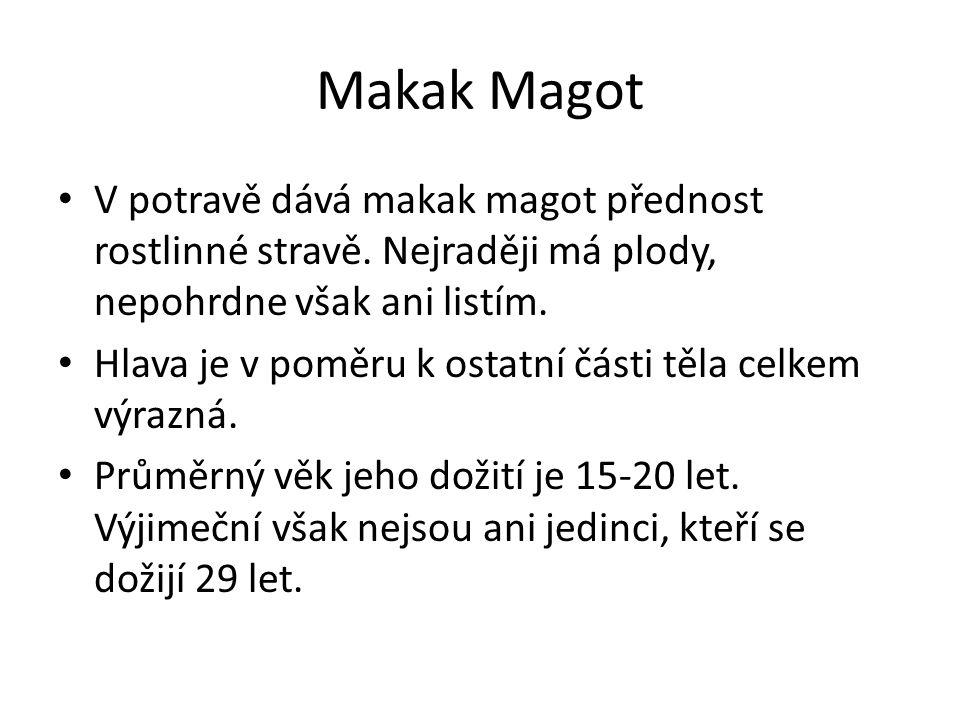 Makak Magot V potravě dává makak magot přednost rostlinné stravě. Nejraději má plody, nepohrdne však ani listím.
