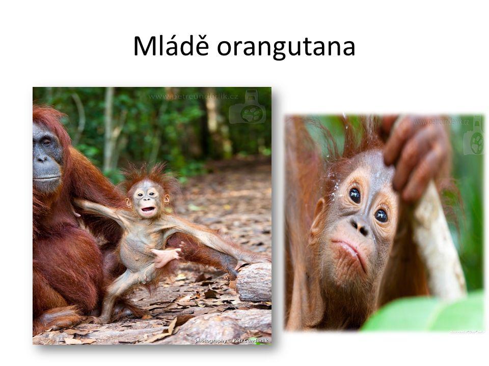 Mládě orangutana
