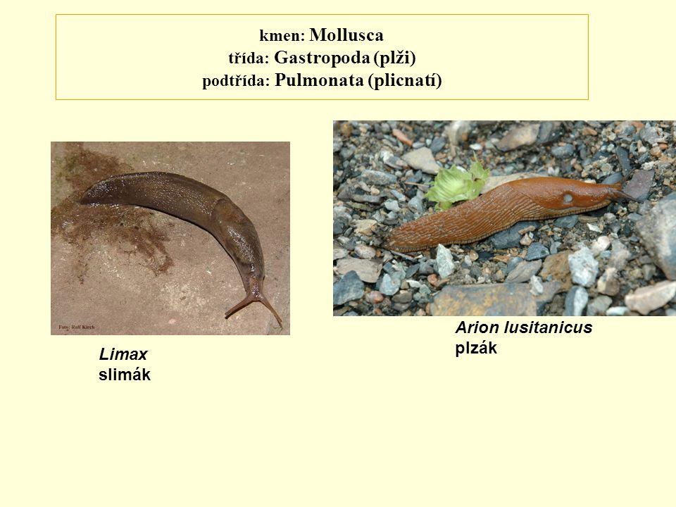 kmen: Mollusca třída: Gastropoda (plži) podtřída: Pulmonata (plicnatí)