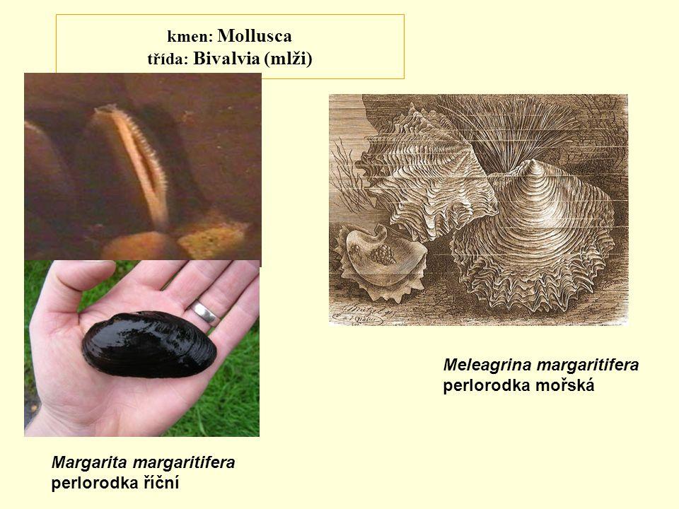 kmen: Mollusca třída: Bivalvia (mlži)