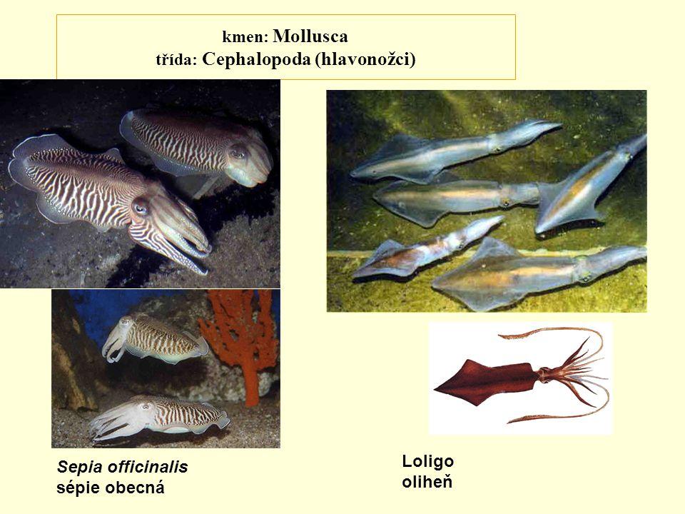 kmen: Mollusca třída: Cephalopoda (hlavonožci)