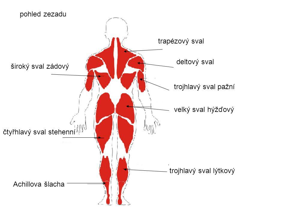 pohled zezadu trapézový sval. deltový sval. široký sval zádový. trojhlavý sval pažní. velký sval hýžďový.