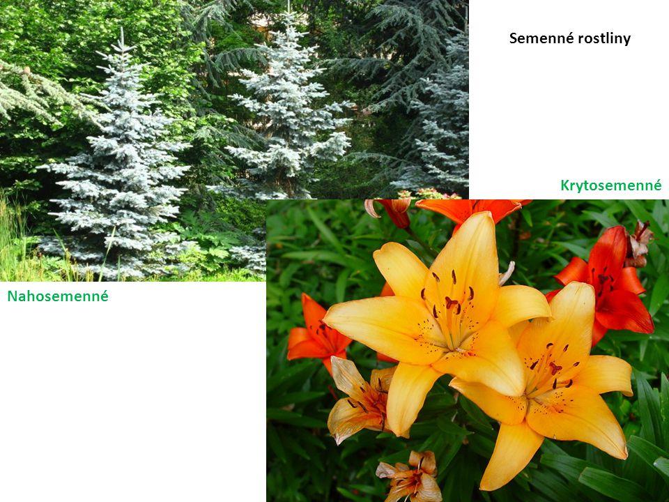 Semenné rostliny Krytosemenné Nahosemenné