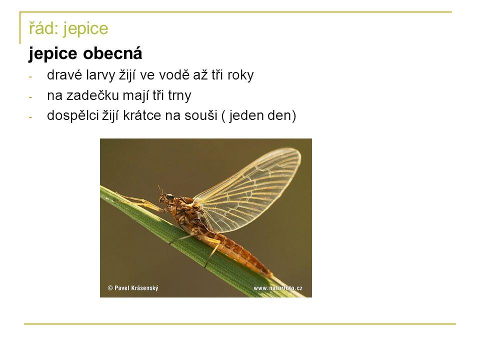 řád: jepice jepice obecná dravé larvy žijí ve vodě až tři roky