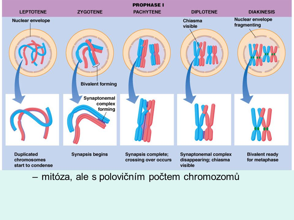 meióza 1. fáze - redukce počtu chromozomů