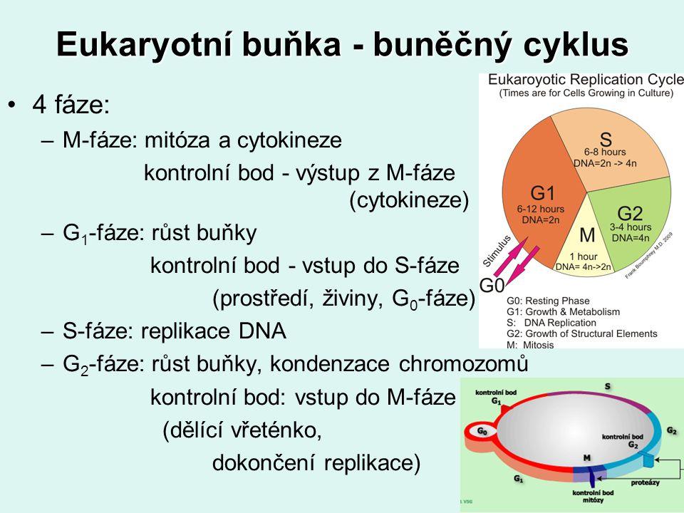 Eukaryotní buňka - buněčný cyklus