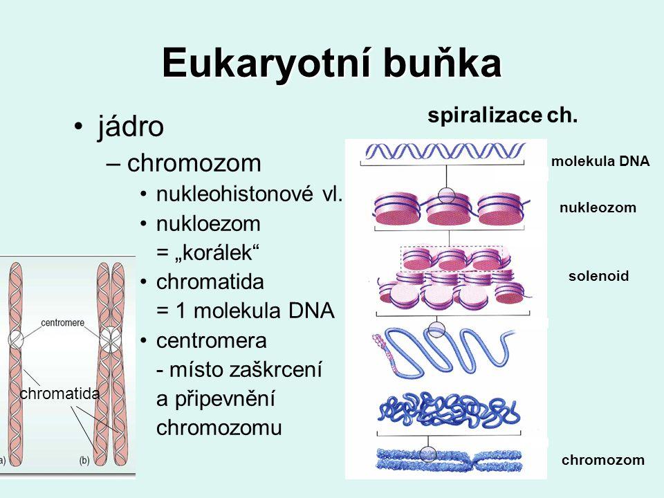 Eukaryotní buňka jádro chromozom spiralizace ch. nukleohistonové vl.