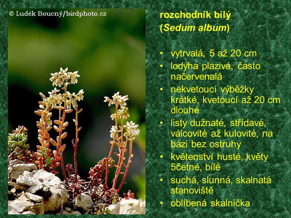 rozchodník bílý (Sedum album) vytrvalá, 5 až 20 cm. lodyha plazivá, často načervenalá. nekvetoucí výběžky krátké, kvetoucí až 20 cm dlouhé.