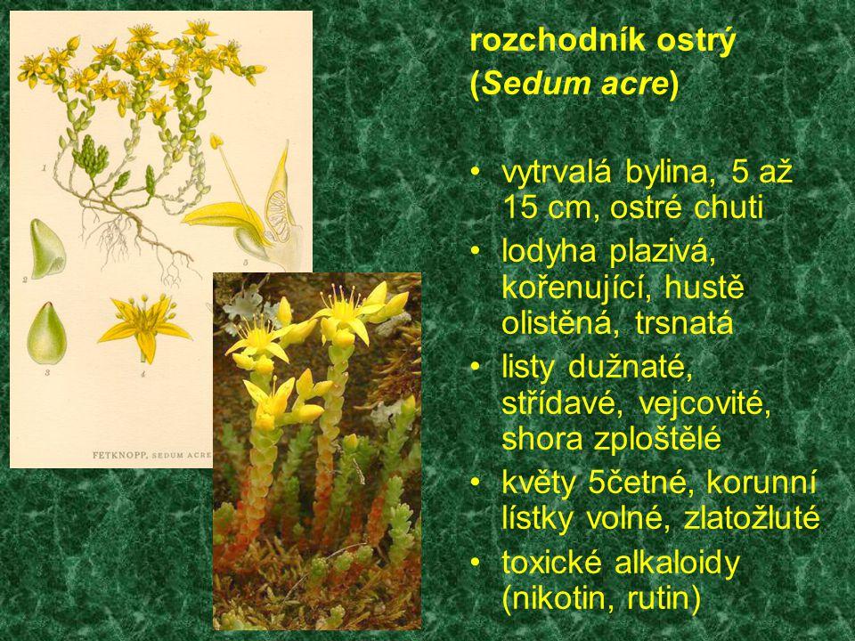 rozchodník ostrý (Sedum acre) vytrvalá bylina, 5 až 15 cm, ostré chuti. lodyha plazivá, kořenující, hustě olistěná, trsnatá.