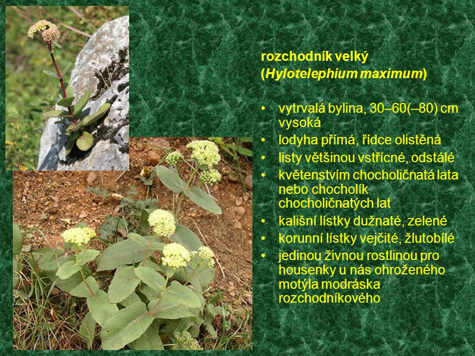 rozchodník velký (Hylotelephium maximum) vytrvalá bylina, 30–60(–80) cm vysoká. lodyha přímá, řídce olistěná.