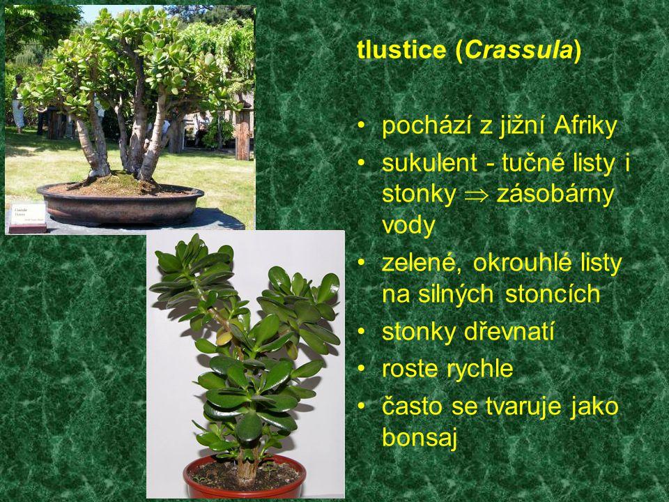 tlustice (Crassula) pochází z jižní Afriky. sukulent - tučné listy i stonky  zásobárny vody. zelené, okrouhlé listy na silných stoncích.