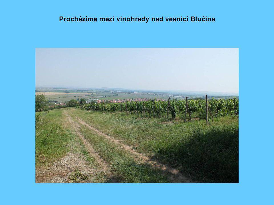 Procházíme mezi vinohrady nad vesnicí Blučina