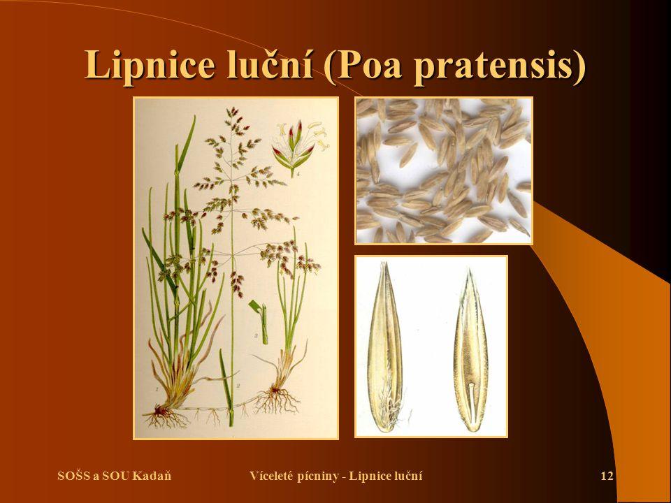 Lipnice luční (Poa pratensis)