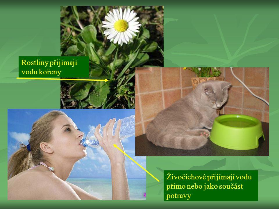 Rostliny přijímají vodu kořeny