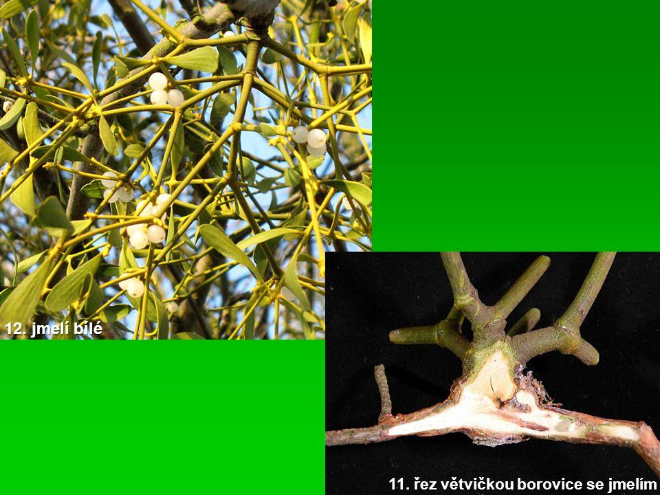 12. jmelí bílé 11. řez větvičkou borovice se jmelím
