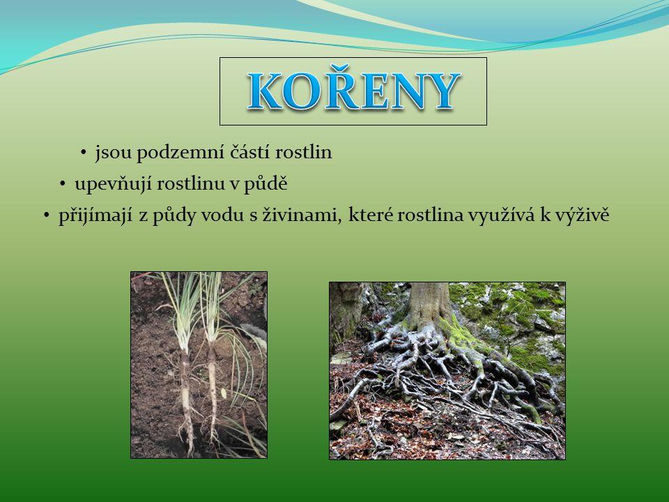 KOŘENY jsou podzemní částí rostlin upevňují rostlinu v půdě