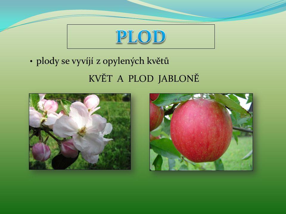 PLOD plody se vyvíjí z opylených květů KVĚT A PLOD JABLONĚ